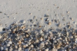 3655754-sea-shells-that-have-washed-up-on-the-beach