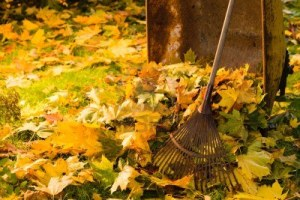 15586816-the-pile-of-autumn-leaves-with-a-rake-and-wheelbarrow